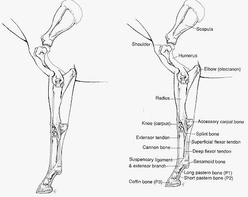 Horse hindlimb anatomy