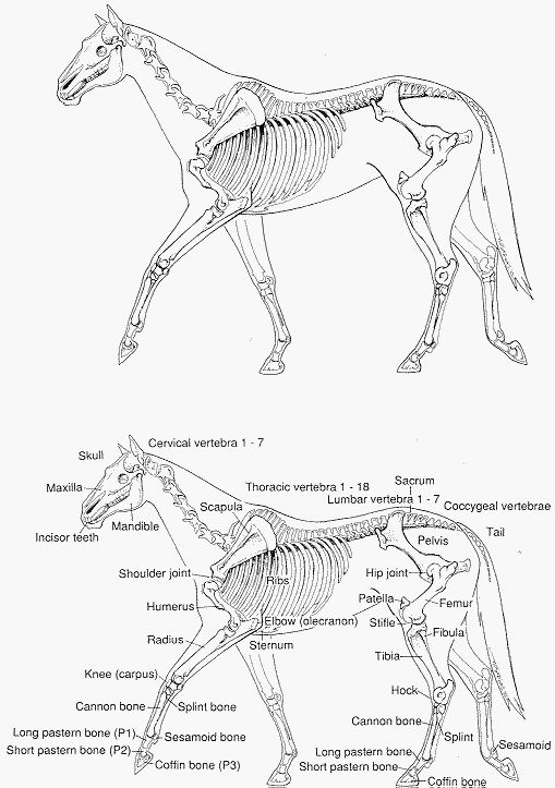 equine skeleton